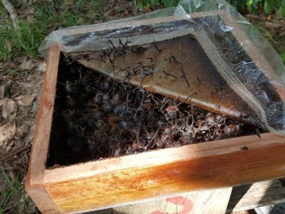 PACOS-Stingless-Bees-400×300